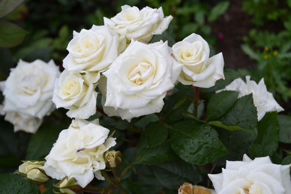 Розы сорта Vivienne Westwood