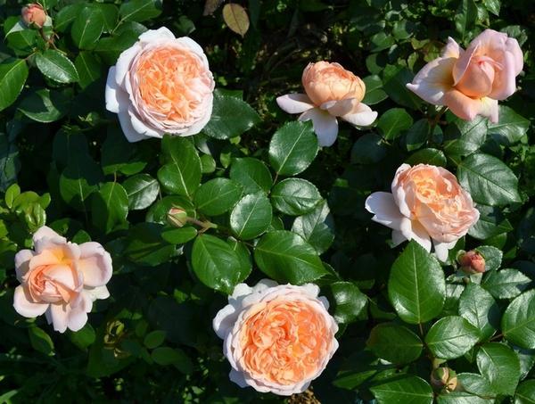 Чайно-гибридная роза сорта Jade