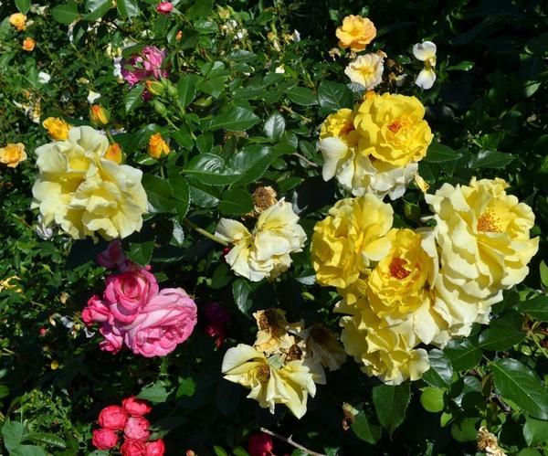Роза сорта Lichtkonigin Lucia - ветвистый шраб, но часто используется как плетистая роза