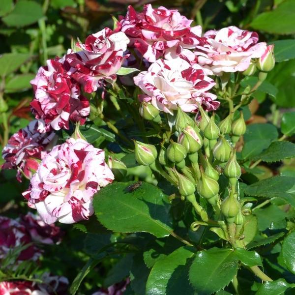 Розы сорта Sparkling
