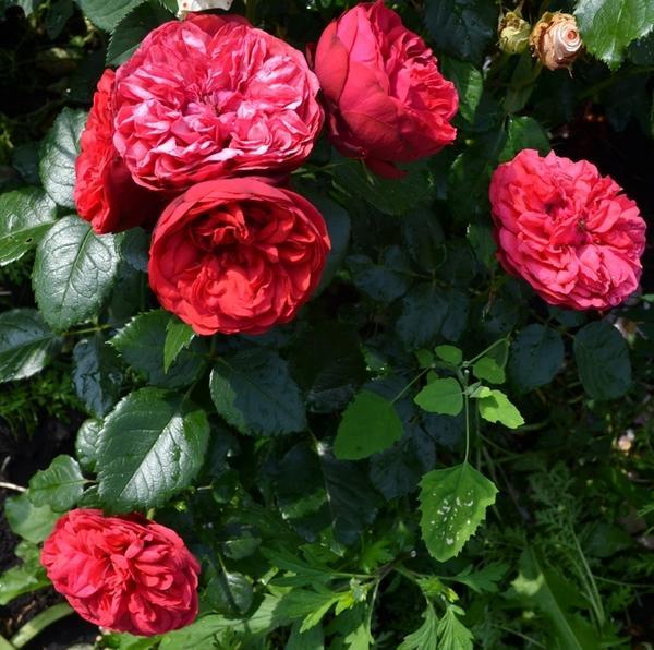 Кустовые розы Piano