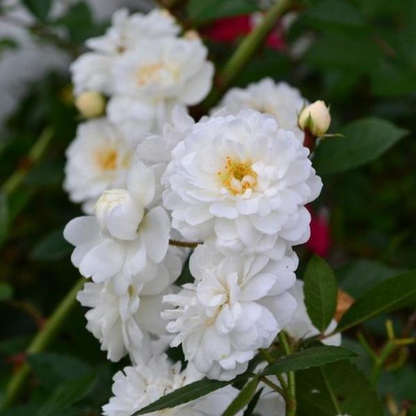 Белая каскадная роза