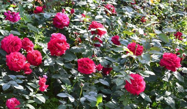 Розы сорта Тэссдэрбервиллей