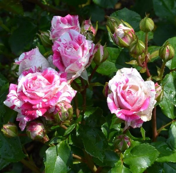 Мускусные гибридные розы сорта Flashing, выведены в Бельгии в 1984 году