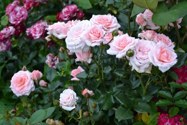 Роза-спрей Lydia выведена в Нидерландах в 1995 году