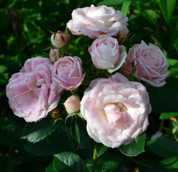 Великолепный образец кустарниковой розы