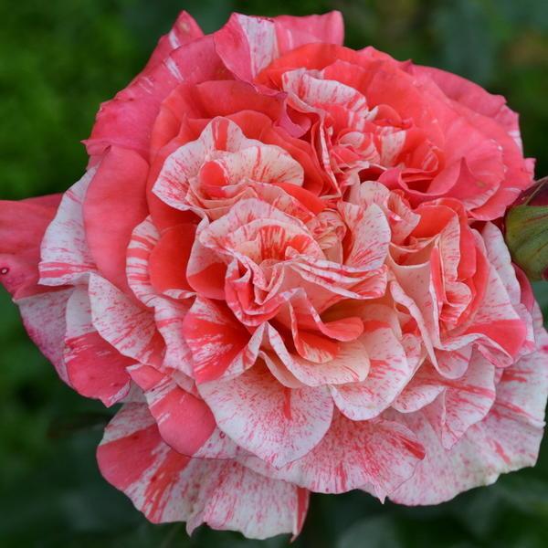 Роза сорта Filateli