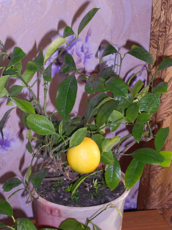 Комнатный лимон сорта Мейер