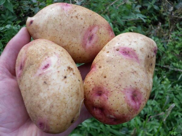 Картофель сорта Галактика