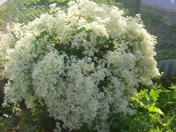 Цветет клематис жгучий