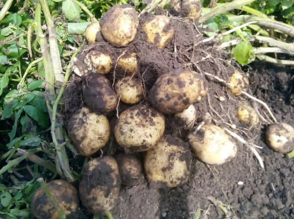 Выкопанный куст картошки сорта Чародей