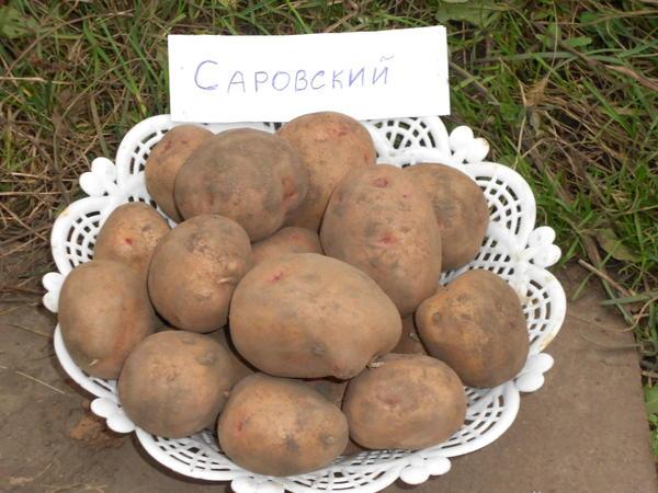 Картофель сорта Саровский