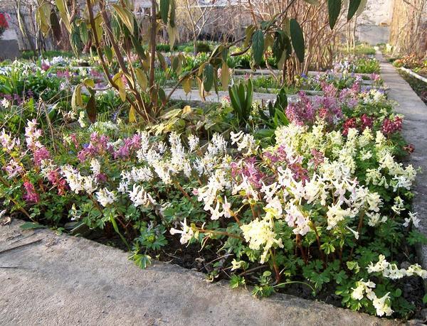 Цветут формы разной окраски Хохлатки кавказской (Corydalis caucasica)