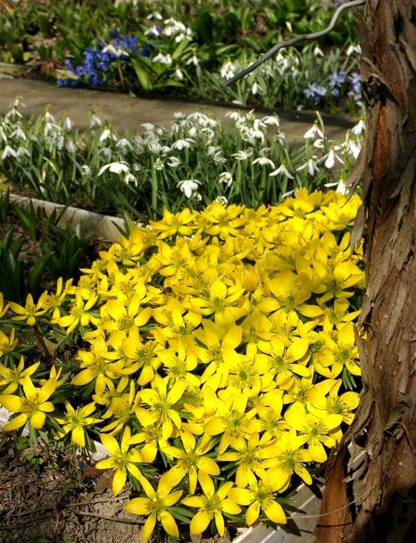 Цветет желтым цветом Эрантис гибридный (Guinea Gold), на заднем плане цветут разные виды подснежников (Galanthus sp.)