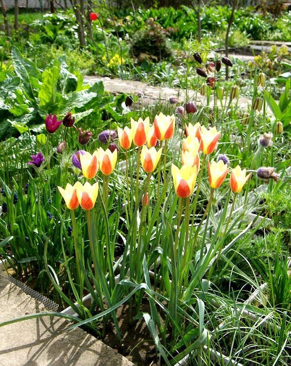 Цветет тюльпан Клузиуса (Tulipa clusiana)
