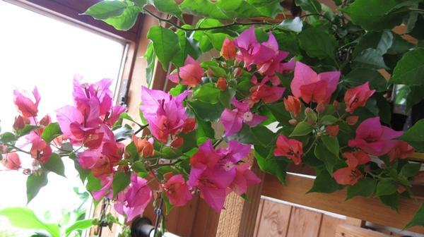 Бугенвиллея Australian Pink