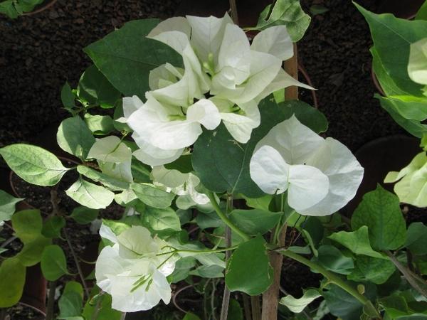 Бугенвиллея Jamaika White