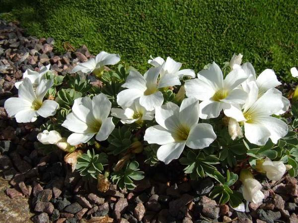 Oxalis Alba. Фото с сайта hdwallpapersxx.com