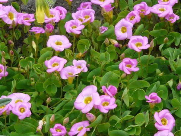 Оxalis inops. Фото с сайта herbcare.ru