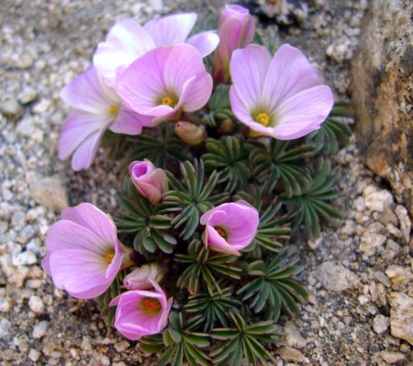 Oxalis adenophylla. Фото с сайта slovensketrvalky.sk