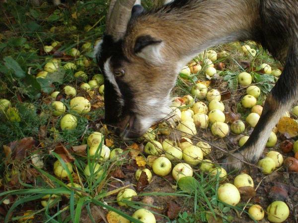 Бендера с яблоками