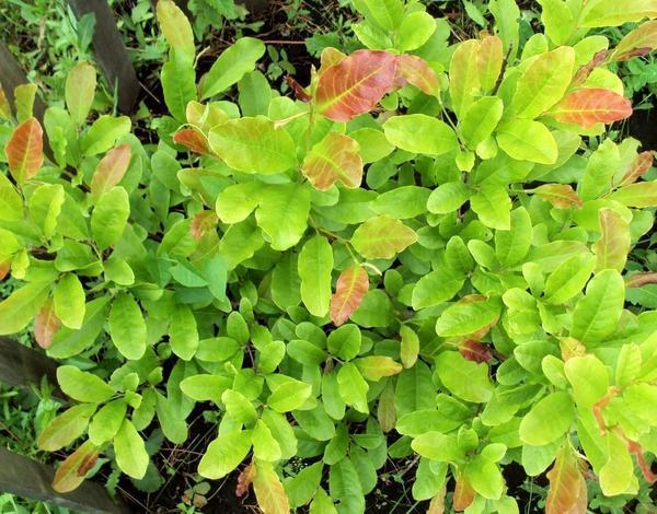 Магнолия Лебнера хорошо зимует, имеет пышную листву и годовой прирост около 30 см