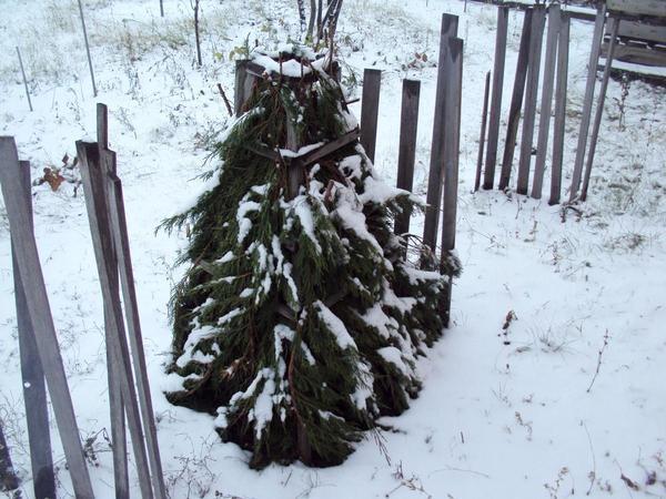 Укрытие на зиму для большой магнолии
