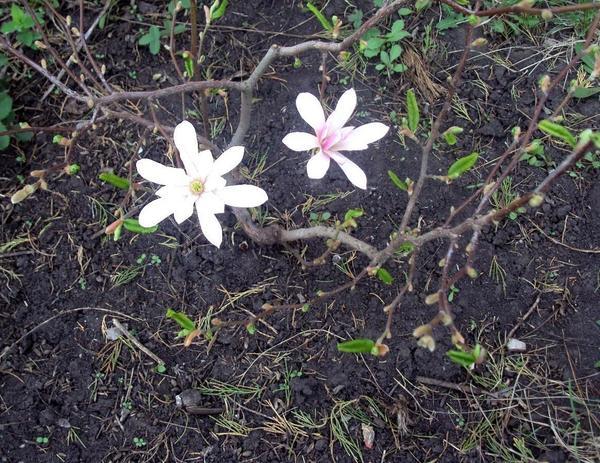 Периодически удаляю сорняки из-под растения