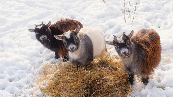 В уходящем году в Козляндии сена и овса было много