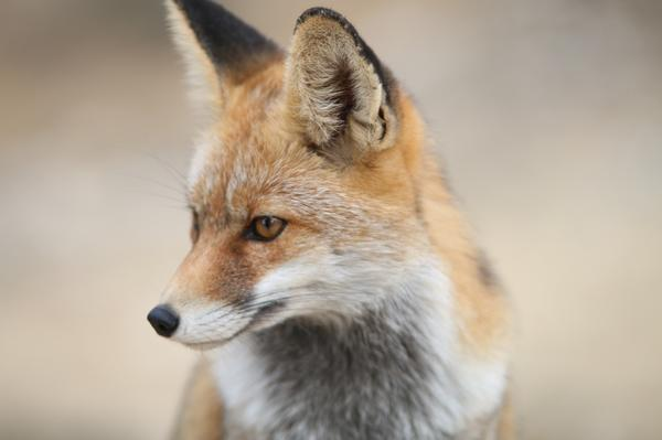 Лиса - хитрая помощница Волка