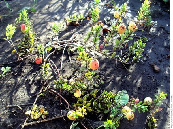 Не стоит спешить и собирать недоспелые ягоды