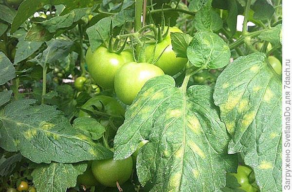 Фото из Интернета, просто точь-в-точь, как на наших томатах