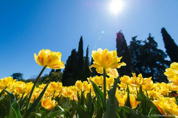 Парад тюльпанов весной 2020 года. Фото Михаила Патлиса с сайта nikitasad.ru