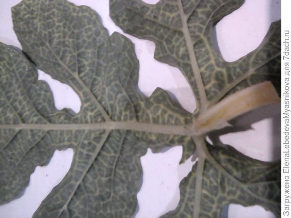 Чем заболели мои арбузы? Почему на листьях пятна?