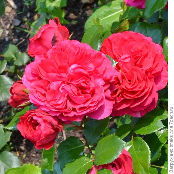 роза ред леонардо да винчи фото
