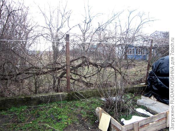 виноград по нашей южной стене