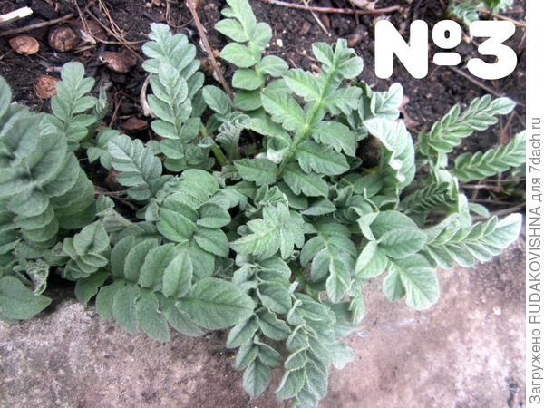 №3. Серо-зеленые листья, растет у фундамента дома, вдоль дорожек.
