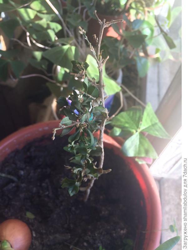 растение самшит