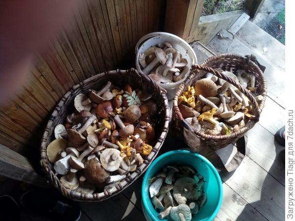 Эти грибы из леса за забором, но также грибы растут и на участке.