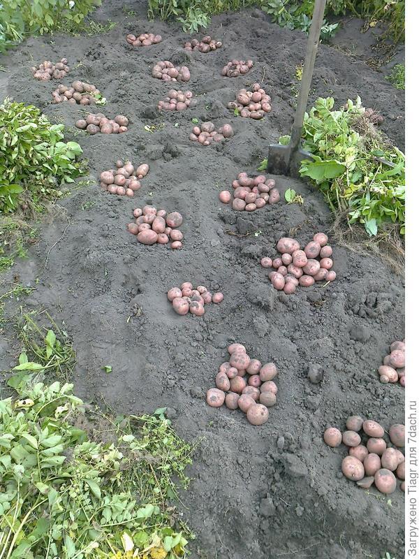 А в кучках не по три штучки ))) - добрый урожай!