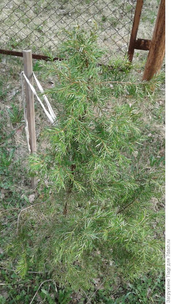 Пересаженный кустик можжевельника. Фото сделано 2 мая этого года