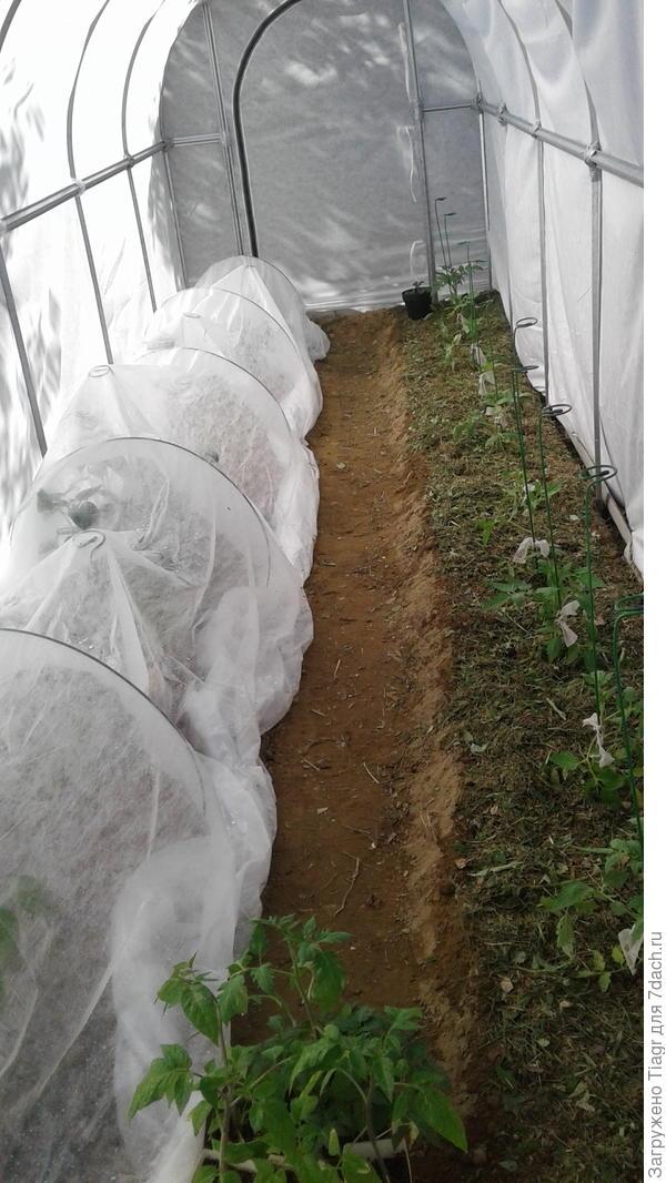 Слева, под укрывным, - перцы, а справа растут помидоры.