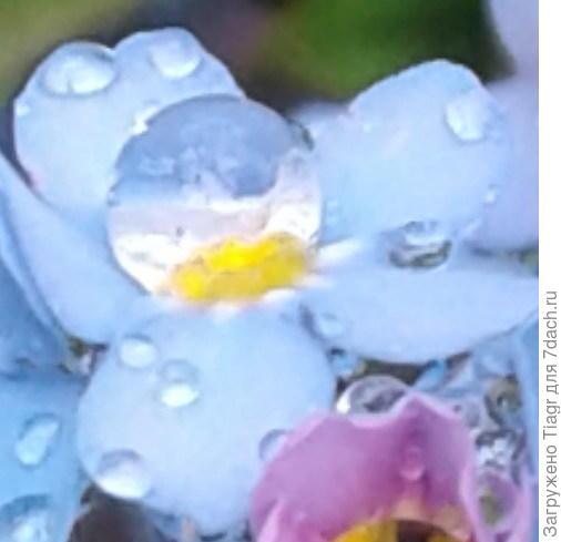 Очень красивая капля дождя на незабудке