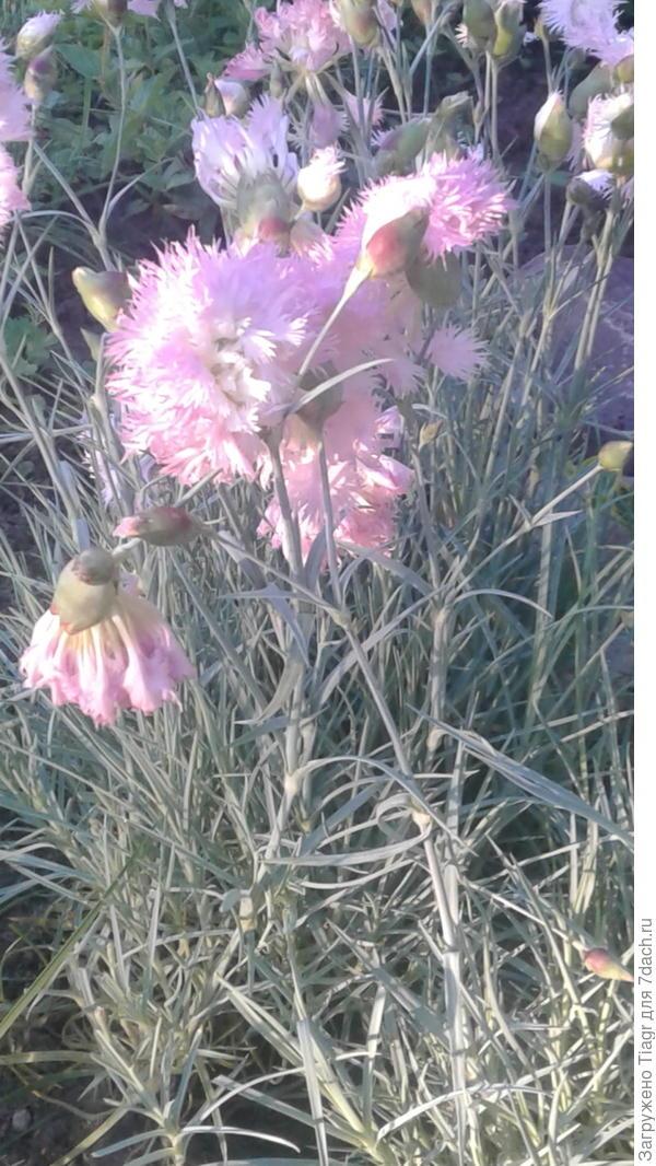 Кустики перистой гвоздики