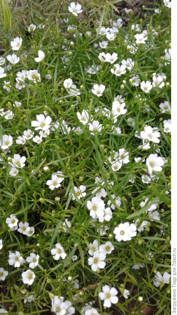 Высотой не более 5-7 см, цветение обильное и продолжительное.