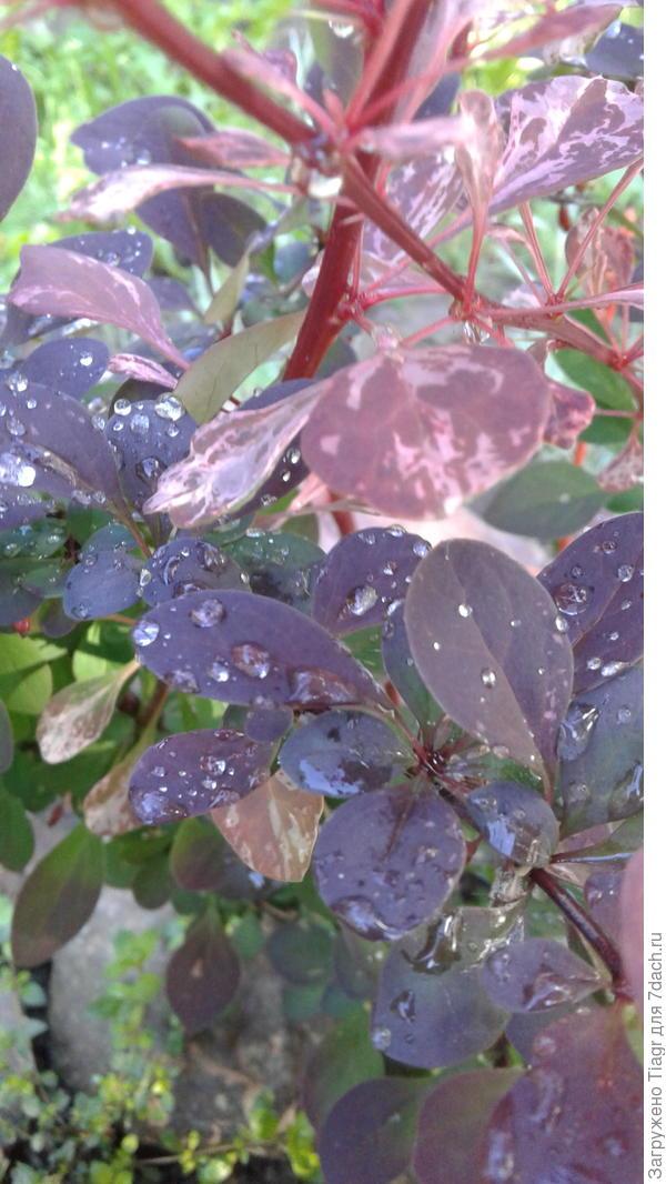Необычайно красив куст после дождя
