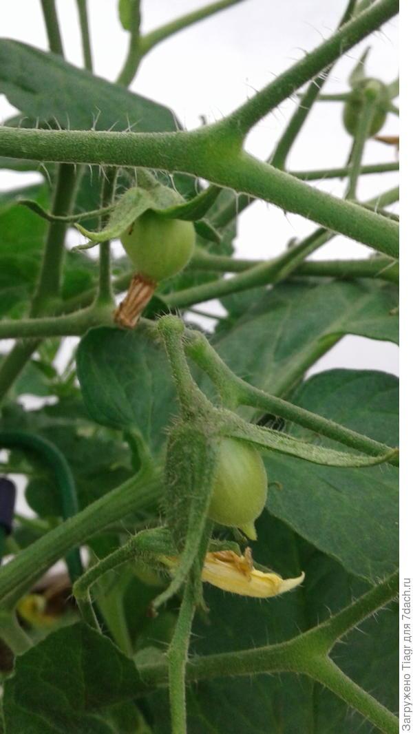 Первые завязи помидорок