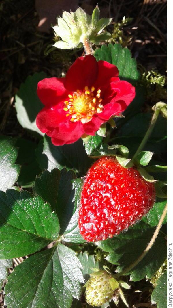 На фото и цветок и ягодки.
