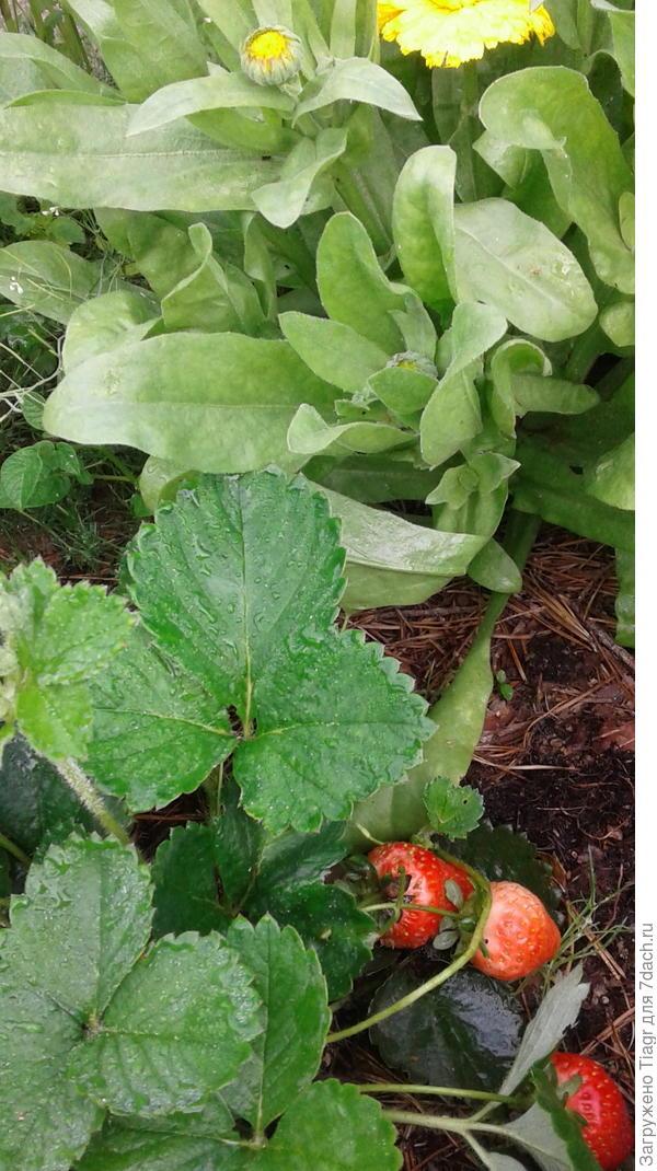 Зрелая ягода клубники на смешанной грядке среди цветов календулы