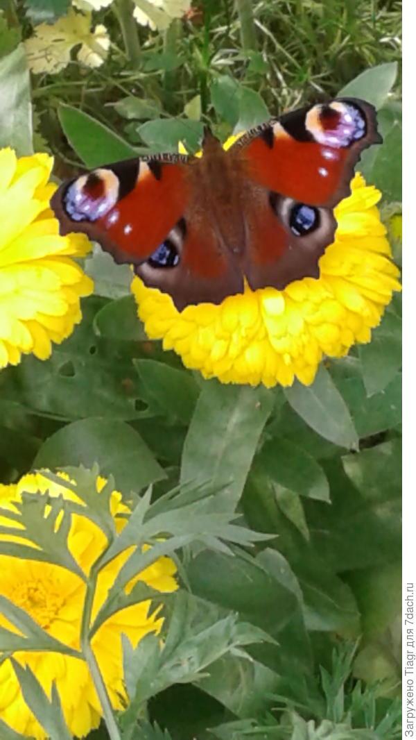 Бабочка павлиний глаз - частый гость на календуле